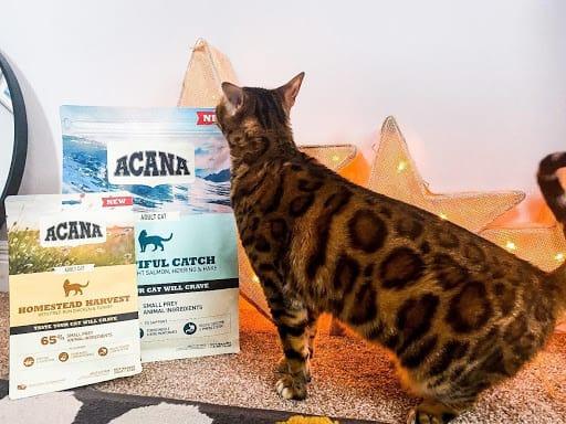 bangal cat with acana food
